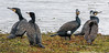 Cormorants with different plumage (Paul_Collins53) Tags: cormorants with different plumage adult nonbreeding courtship rspb old moor wild birds nikon d850