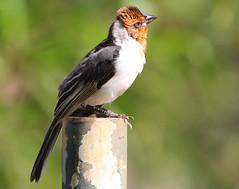 Cardeal-do-nordeste (Degu SASF) Tags: brasilia brasília brasil brazil aves pássaro birds bird birdwatching observação