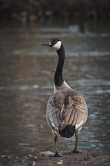 Always look back... (Melinda G Pix) Tags: goose canadiangoose waterfowl bird pond nature solitary