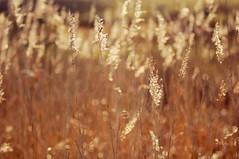 golden light (Frau Koriander) Tags: nikond300s bokeh dof nature natur flora goldenhour goldenlight light licht gras gräser wind nikkoraf8020028 mönchbruch langen mörfeldenwalldorf rüsselsheim südhessen hessen germany deutschland