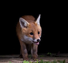Happy fox cub (Paul_Collins53) Tags: happy fox cub patio wild animal fuji xt2 flashes night garden