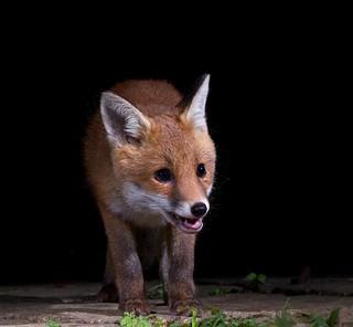Happy fox cub