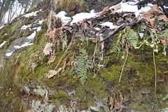 DSC_5148 (Kyle Hartshorn) Tags: cold winter unitedstates northamerica ohio lickingcounty blackhandgorge lickingriver fieldwork gorge river geology stratigraphy outcrop sandstone laurentia paleozoic latepaleozoic upperpaleozoic mississippian earlymississippian lowermississippian carboniferous earlycarboniferous lowercarboniferous blackhandsandstone blackhandsandstonemember cuyahogaformation botany bryology plant plants bryophytes fern ferns