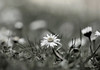 *** (MargoLuc) Tags: spring meadow grass daisies wildflowers sunlight bokeh lovely season monochrome bw outdoor