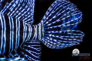 Tail fins of Lionfish artistic rendering