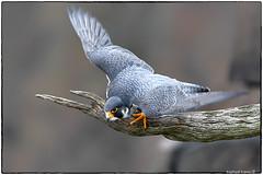Palisades Peregrine Falcon (RKop) Tags: peregrinefalcon alpine newjersey raphaelkopanphotography d500 nikkor600f4evr 14xtciii
