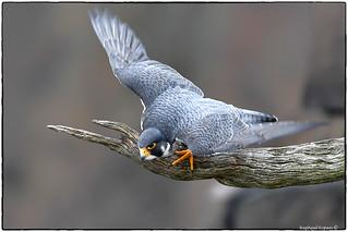 Palisades Peregrine Falcon