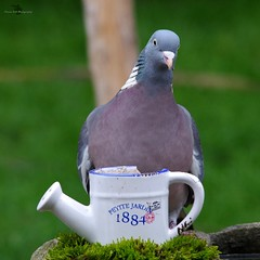 pigeon with  watering can (2) (Simon Dell Photography) Tags: pigeon garden detail close up large wood shirebrook valley sheffield nature wildlife birds animals spring views sights reserve s12 simon dell photography photos