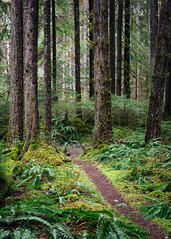 Wherever I May Roam (John Westrock) Tags: nature forest path trail trees ferns washington pacificnorthwest canoneos5dmarkiii canonef2470mmf28lusm northbend