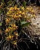 Odontoglossum cristatellum (Mike Rollinger) Tags: orchid tour ecuador andes mountains mountain plant plants flower orchids odontoglossum cristatellum