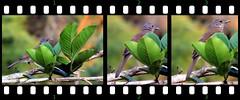 Thrush (asterisktom) Tags: bird vogel ave 鸟 птица 鳥 pajaros unidentified tripsouthamerica2017 2017 september colombia minca