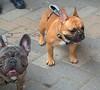 Little Dogs Big Presence (Scott 97006) Tags: cute animal dog canine pet cuties