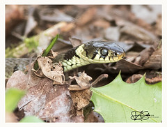B57I9408-Grass-Snake,-Natrix-natrix-1 (duncancooke.happydayz) Tags: grass snake natrix reptile reptiles british wildlife naturesgreenpeace native natue hay bridge
