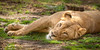 Just Lion Around (Penny Hyde) Tags: bigcat lion safaripark