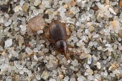 6J1A0002-2 (aliceinwl1) Tags: arthropod arthropoda ca california coleoptera curculionidae curculionoidea emphyastini insect insecta molytinae polyphaga saltpointstatepark seriescucujiformia snoutbeetle sonomacounty stumpbeachcove thalasselephas thalasselephastestaceus weevil beetle locpublic testaceus viseveryone