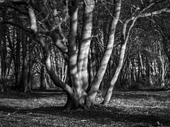 In Among the Trees (stevedewey2000) Tags: wiltshire salisburyplain trees treescape blackandwhite bw monochrome desaturated zeiss ikon talon homemadelens diy manualfocus copse explore explored shadow light chiaroscuro