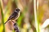 Tarabilla comun (Andres Breijo http://andresbreijo.com) Tags: pajaro pajaros bird birds ave naturaleza nature wildlife charca motril granada andalucia españa spain