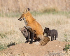 April 15, 2018 - Fox kits hang out with mom. (Patrick Martin)