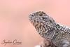 Ctenophorus reticulatus (SquamataOut) Tags: ctenophorus reticulatus dragon western australia netted outback