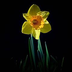 The Daffodil (Missy Jussy) Tags: daffodil flower sunlight springtime spring garden mygarden bulb blackbackground canon canon5dmarkll canon5d canoneos5dmarkii 100mm ef100mmf28macrousm ef100mm canon100mm macro closeup