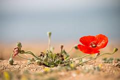 Mohn von Zypern (Marcus Hellwig) Tags: blüte blume bokeh natur nature naturfoto flower fleur rot red natura naturalleza naturo