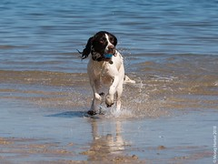 Izzy (mehunter) Tags: britishisles firthofforth greatbritain izzy lumixgvario100300f4056 panasoniclumixg7 scotland springerspaniel uk unitedkingdom yellowcraigs beach dog fauna mammal water