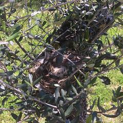 Uliveto (Olio Poldo - Olio Extra Vergine di Oliva) Tags: oliopoldo poldo cucinaconpoldo olioextraverginedioliva oliveoil olivenol olivetree tree bird nest