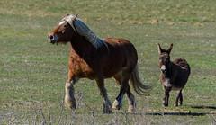 Le bonheur est dans le pré (milvus09) Tags: cheval comtois et âne des pyrénées