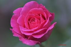 Wet Pink Rose (Anton Shomali - Thank you for over 1 million views) Tags: summer backyard housegarden garden flickr dlowers closeup closeu beauty beautiful thunder thunderstorms wind raindrops drops storm sunny sun wet pink rose wetpinkrose flower rain