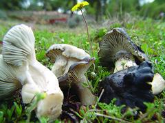 Hygrophorus Marzuelus (pepebarambio) Tags: setas hygrophorusmarzuelus
