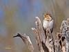 Torcecuello Euroasiático  (Jynx torquilla) (14) (eb3alfmiguel) Tags: aves carpinteros torcecuello euroasiático jynx torquilla piciformes picidae pájaro animal madera roca cielo