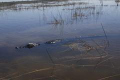 Florida Everglades Alligator (blackunigryphon) Tags: wild alligator sawgrassrecreationpark southernflorida florida fortlauderdale