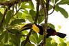 Black-mandibled Toucan at La Selva (Bonnie Ott) Tags: laselvabiologicalreserve costarica ramphastosambiguus toucan blackmandibledtoucan crescentiaexpeditions