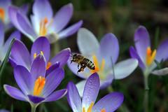 Freitagsgruß (ingrid eulenfan) Tags: natur nature krokus biene pflanze plants sonyalpha6000 7dwf blume flowers makro 56 3 tamron16300mm