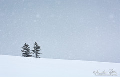 Deux arbres, effet boule à neige (Aurelien Pottier) Tags: abres trees solitude neige snow flocon snowflakes snowing neiger paysage landscape winterscene snowscape horizon mrcdelamatanie bassaintlaurent gaspésie gaspepeninsula québec canada outdoors extérieur jour day nopeople nonurbanscene rural bassaintlaurentquébec ca