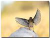 Terreno resbaladizo... Pinzón comun macho (European Chaffinch). (Carpinet.) Tags: parquenatural pajaro pájaro bird alas volar fly nieve snow animales olympus esolympus ave