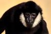 White-cheeked Gibbon (dpsager) Tags: brookfield brookfieldzoo chicago dpsagerphotography gibbon monkey whitecheekedgibbon zoo zoosofnorthamerica