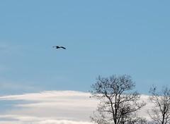 Great Blue Heron (Wild Bird Company) Tags: greatblueheron ardeaherodias greatblueheroncolorado greatblueheronboulder wildbirdboulder wildbirdcolorado wildbirdcompany formerwildbirdcenter notwildbirdsunlimited birdseed birdwalk saturdaymorningbirders eileenrutherford