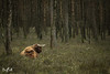 In the woods (Renate van den Boom) Tags: 03maart 2018 europa gelderland hooglander jaar maand nederland renatevandenboom veluwezoom zoogdieren