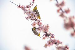 Sprring Branch (moaan) Tags: kobe japan jp bird mejiro japanesewhiteeye ume umeblossom japaneseapricot pair springtime spring branch perch march intheair sky lowangleview canoneos5dsr ef70200mmf28lisiiusm utata 2018