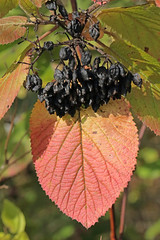 Nannyberry In Fall (peterkelly) Tags: digital caledon ontarionature willoughbynaturereserve ontario canada northamerica fall autumn red leaf berries encarnado shrub bush