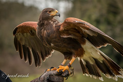 Arizona - Harris Hawk (pearl.winch) Tags: arizona birdspreyworkshop5thmarch2018 cressingtemple danielbridges edenfalconry 1547 harrishawk