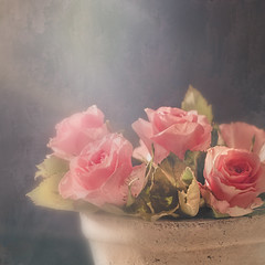 Rose (BirgittaSjostedt) Tags: rose flower plant closeup soft bright light card rosecard greetingscard beauty unique art