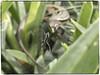 ARAÑA EN PELIGRO (BLAMANTI) Tags: arañas aracnidos lagartija lagartos lagarto tela canon canonpowershotsx60 blamanti