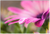 Daisy (Ken Mickel) Tags: dewdrop flower flowers flowersplants kenmickelphotography plants waterdrop blossom blossoms botanical closeup daisy nature photography upclose