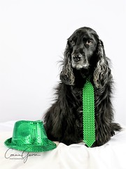 11/52 - Sammy 2018 (conniegavin12) Tags: 52weeksfordogs fieldspaniel spaniel dog pet stpatricksday