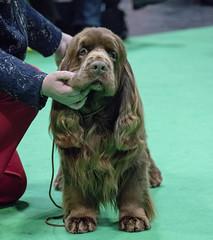 GAZ_1296 (garethdelhoy) Tags: dog sussex spaniel crufts 2018 kennel club