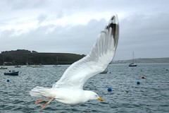 MAR_1815_00003 (Roy Curtis, Cornwall) Tags: uk cornwall falmouth herringgull flyingpast harbour coast sea birds gulls