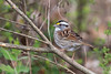 White-throated Sparrow (Zonotrichia albicollis), Maury County, Tennessee (kmalone98) Tags: wildlife buntingsandnewworldsparrows whitethroatedsparrow emberizidae zonotrichiaalbicollis aves