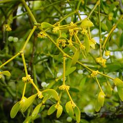 Mid-March mistletoe, Shottery (Dave_A_2007) Tags: flower mistletoe nature plant stratforduponavon warwickshire england